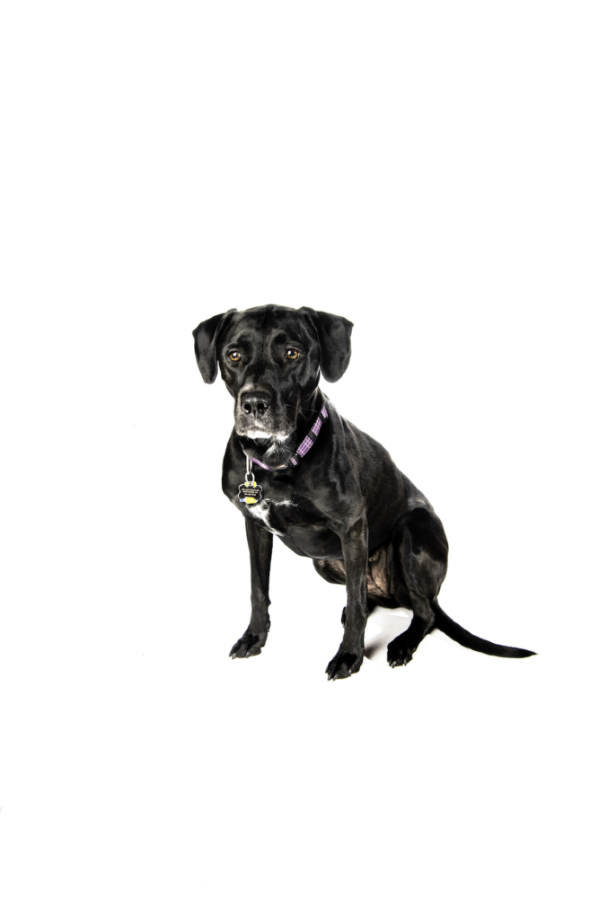 The black plott hound with a white muzzle sits on a white background and looks past the camera