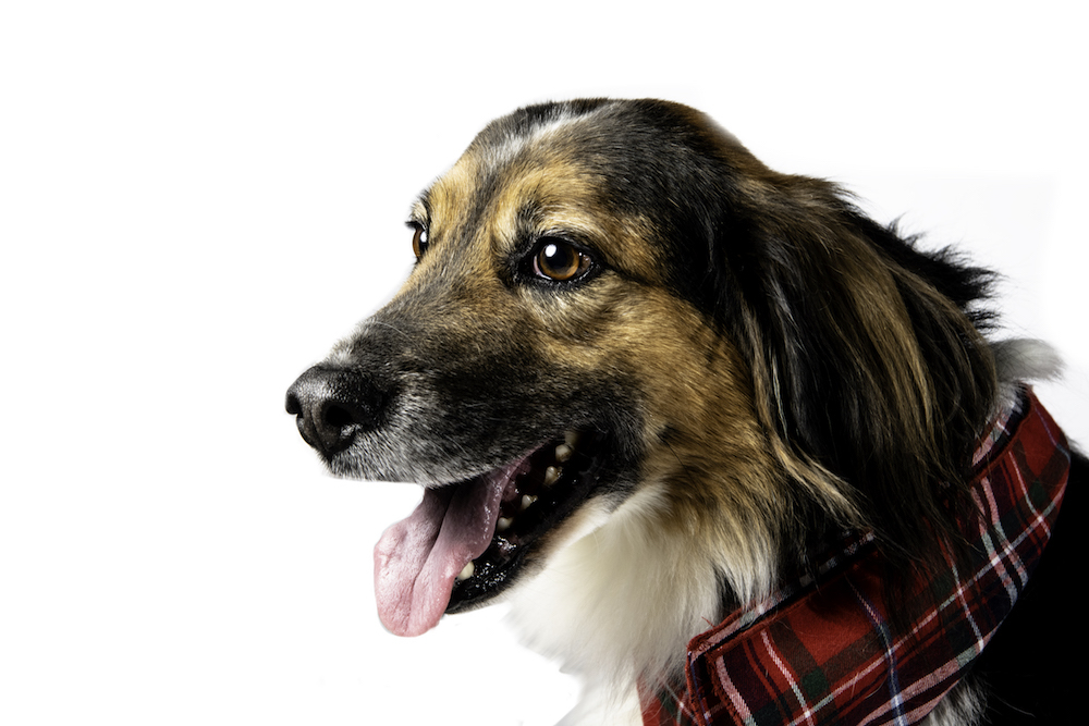 A profile of the head of the beagle/German sherpherd mix with his tongue out, wearing a plaid bandana around his neck.
