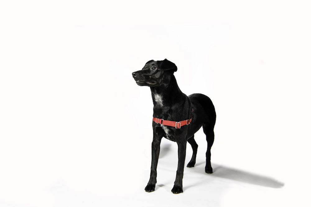 The black dog stands on a white backdrop staring past the camera wearing a red harness.