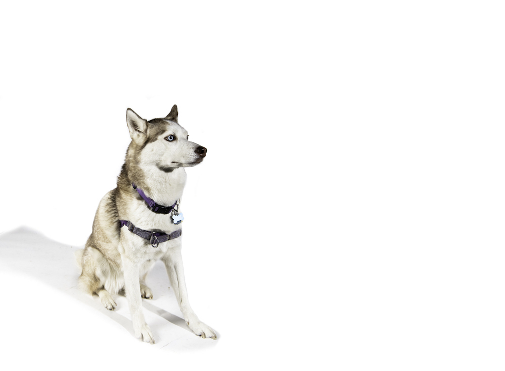 The white dog with bright blue eyes sits on a white background wearing a purple collar.
