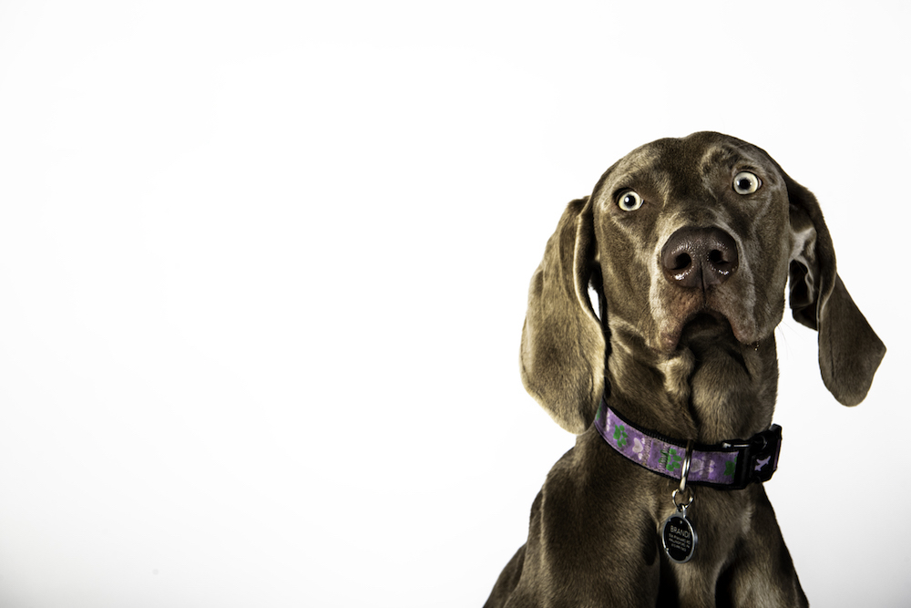 A headshot of the chocolate-colored Weimaraner puppy wearing a purple collar