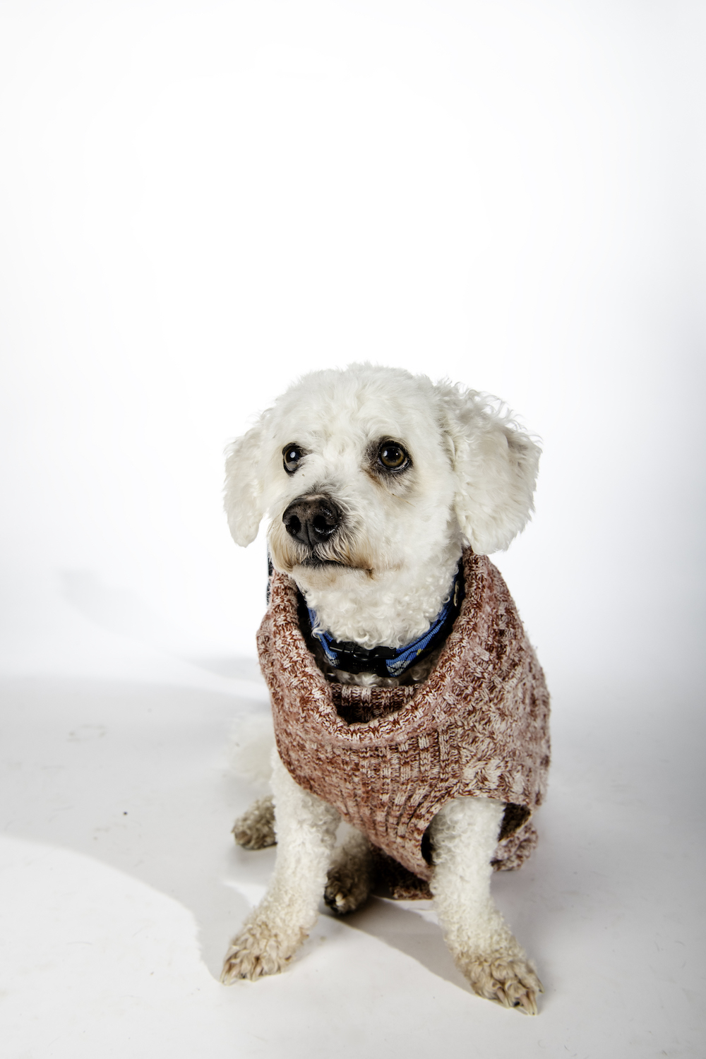 The little, white, curly-haired Bichon Frisee sits on a white backdrop wearing a marled red sweater