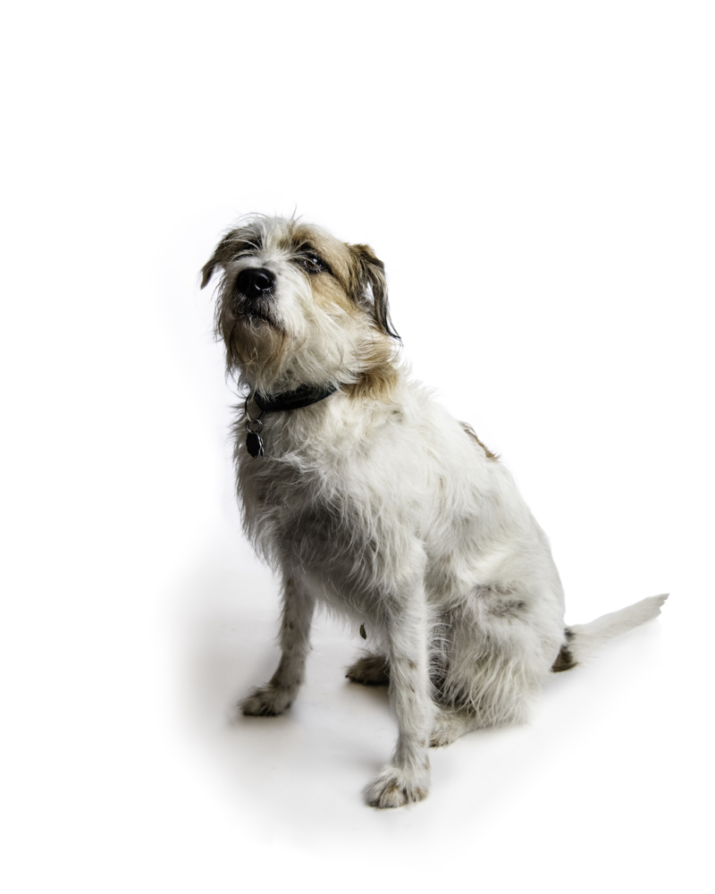 The wiry-haired white dog with brown spots on his face and ears sits on a white backdrop and looks at the camera