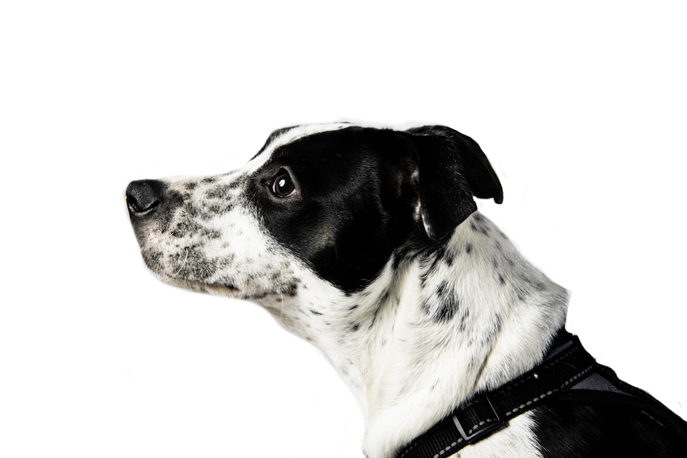 A profile portrait of the black and white dog's face