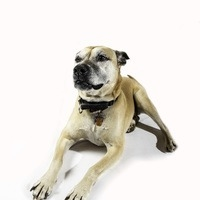 The tan dog lays down regally on the white backdrop.